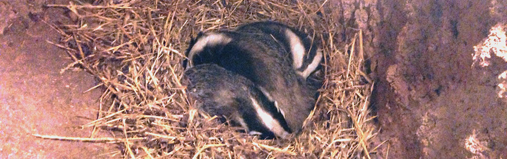 Badger Sett Monitoring – East Sussex