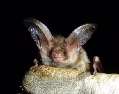 Brown long eared bat discovered during mitigation work undertaken under Natural England licence
