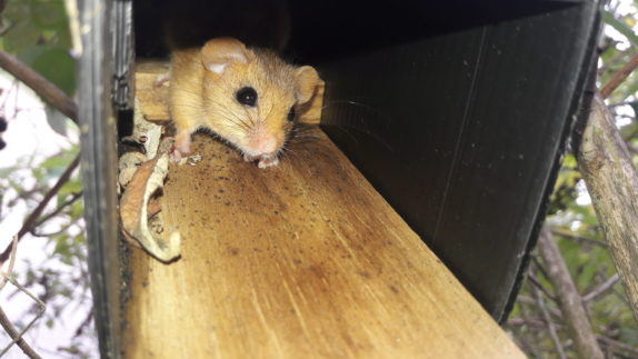 Dormouse recorded in a dormouse tube as part of presence absence surveys on a potential development site