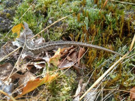 Sand lizard recorded on survey by our Natural England rare reptile licenced ecologists