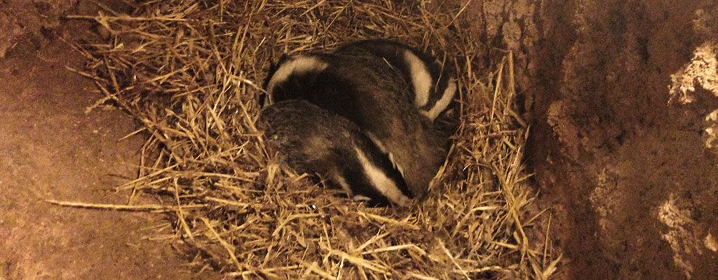 We undertake protected species surveys involving badgers, bats, reptiles and more