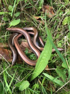 Slow worms recorded during reptile presence absence survey