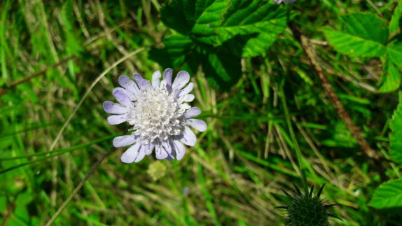 Field Scabious recorded during a preliminary ecological appraisal