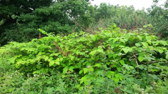 Japanese knotweed an invasive species under schedule 9 of the wildlife and countryside act discovered during a preliminary ecological appraisal