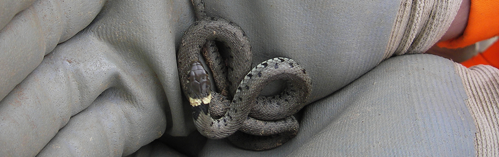 Reptile Translocation Completed – Kent