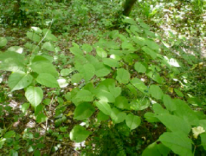 Japanese knotweed - law commission
